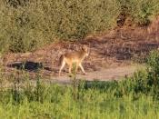 Coyote B