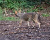first coyote