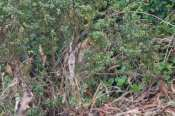 foraging in bushes after a skunk?