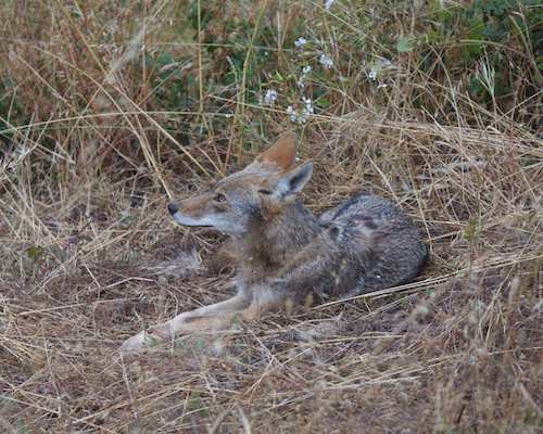 departed coyote waits patiently looking the other way