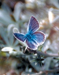 Mission Blue Butterfly from Wikimedia Commons