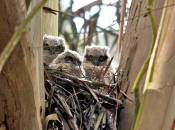 great horned owlets raised in non-native eucalyptus
