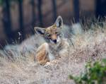 coyotes depend on dense thickets and underbrush for their safety