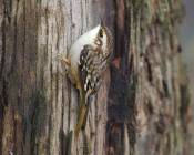 brown creeper hunts on non-native eucalyptus