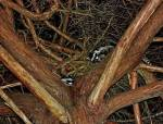 Raccoons live and depend on non-native trees