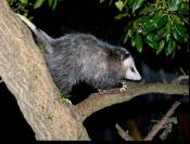 opossums live in and depend on non-native trees