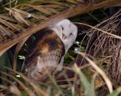 barn owl and mate nest in non-native palm tree