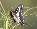 Swallow tail butterfly relies on non-native fennel for survival