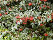 non-native cotoneaster feeds birds and other wildlife