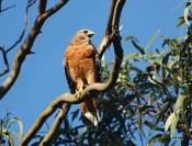 Hawks love the eucalyptus trees and nest in them