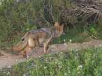 coyote follows from a distance behind