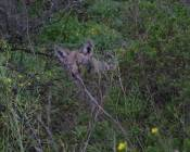 coyote hides as they pass
