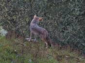 coyote comes out from hiding to continue watching