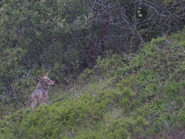 first coyote follows dogs and walkers to park exit
