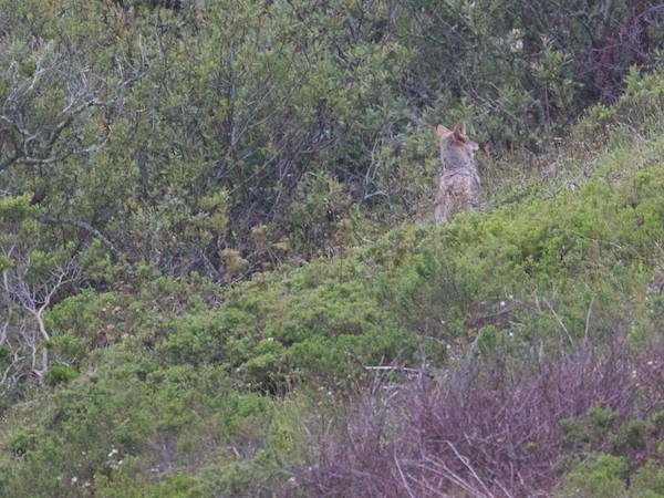 first coyote sees walkers leave park