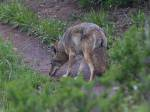 second coyote is figuring out the scent