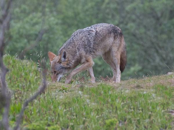 second coyote picks up the scent