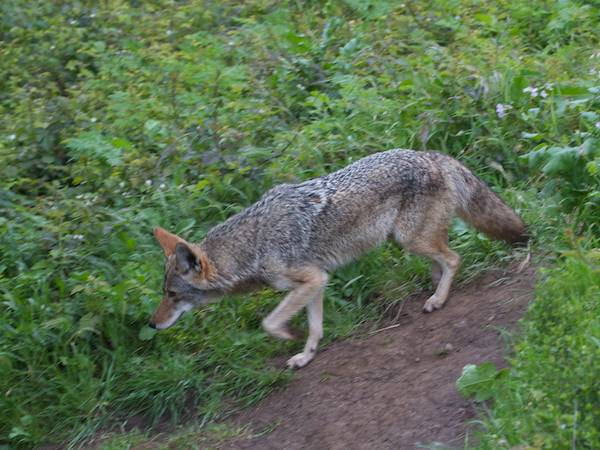 second coyote backtracks