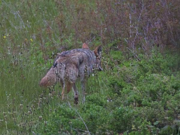 first coyote turns into the brush