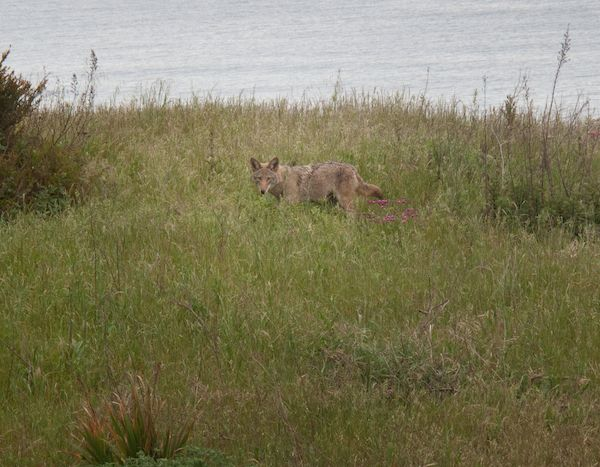 Coyote Checking Me Out