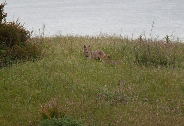 -Coyote_Heroic_Pose-2