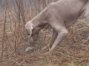 dog playing with pinecone & invites coyote to play