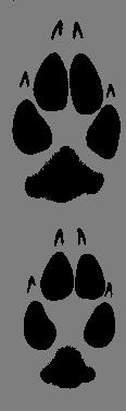 coyote paw prints