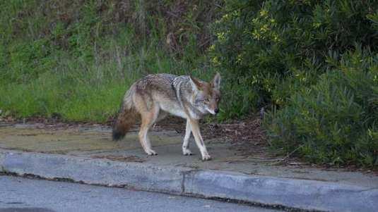 coyote walks during daylight on sidewalk close to a neighborhood