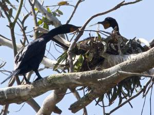 active cormorants