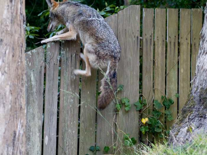 Wild Backyard Animals : Jumps A Fence  Coyote Yipps