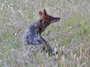 coyotes hunt and rest in foxtails