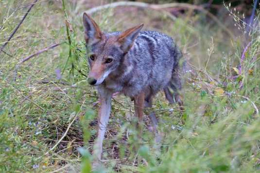 This mother coyote is in her 8th week of nursing