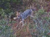 Dad Coyote brings home the bacon