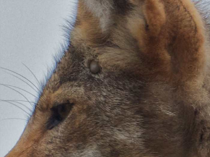 Coyote Fur Coat >> Fur, Bugs | Coyote Yipps