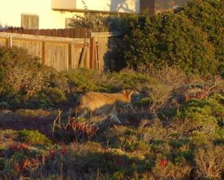 """Image 1: My friend and I were taking pictures of the sunset on a cliff when I turned around to find this coyote passing by. He (She?) was aware of us because he glanced at us a few times as he walked by. he glanced at us a few times as he walked by."""""""