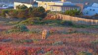Image 3: Here's the coyote walking back to direction he came from. He stopped and found a groundhog or something to feed on.