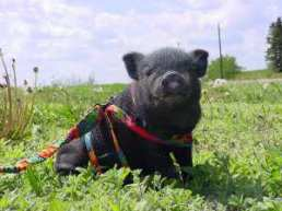 Miniature pot-bellied pig in harness
