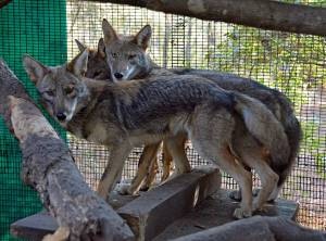 Coyote brothers on the day of their release photo: Linda Potter