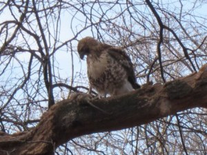 Hawk stares at dead rat dinner