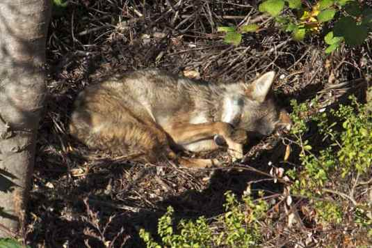 coyote sleeping in a hidden spot of sunshine