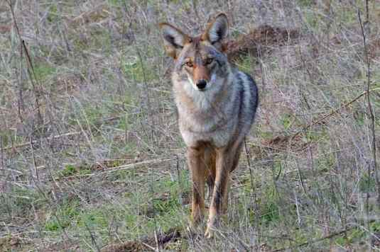 Coyote youngster with thick neck and breast fur for the winter