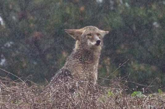 Coyote youngster sits in a downpour