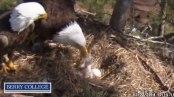 feeding a chick