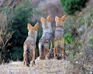 3) Coyotes Miss Nothing In Their World! ~ posted March 15th, is about using guardian animals to protect livestock.