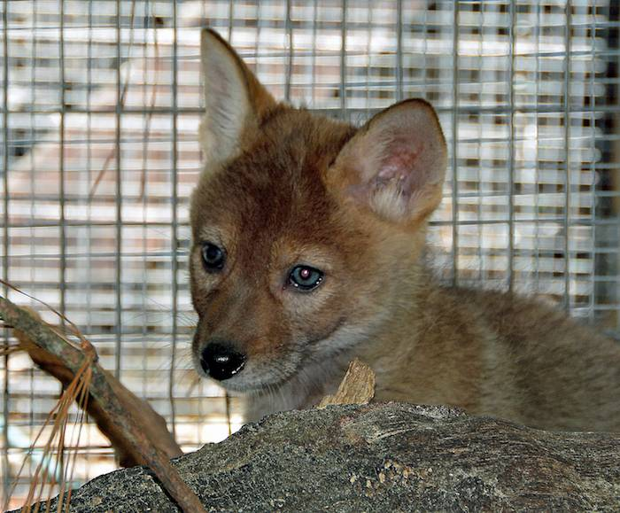 baby coyotes picture - 700×579