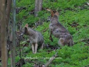 Coyote jumps up to follow -- keeping its distance and keeping to the trees for protection