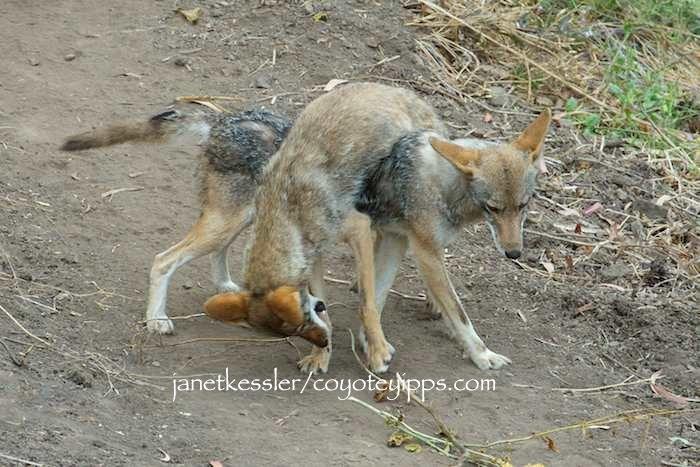 Coyotes territorial peeing