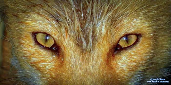 name fox eyes - photo #28