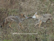 When the second coyote grabs onto the rat and the other doesn't let go, it becomes a game of tug-of-war