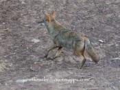 approaching dog